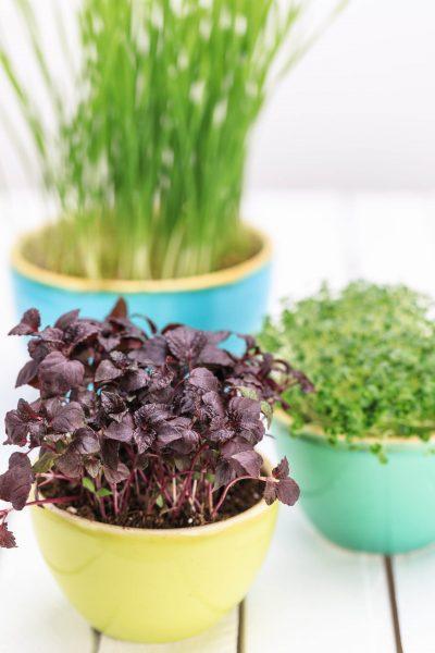 Foto zeigt Microgreens und Kräuter für Fotoproduktion